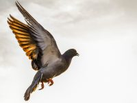 Should the passenger pigeon come back from the dead?